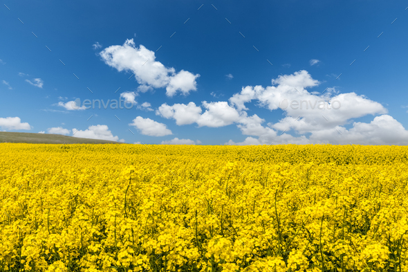 rapeseed flower blooming and nice sky - Stock Photo - Images
