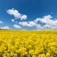 rapeseed flower blooming and nice sky - PhotoDune Item for Sale