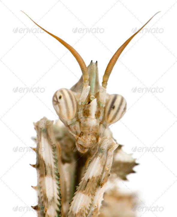 Female Blepharopsis mendica, Devil's Flower Mantis, in front of white background - Stock Photo - Images