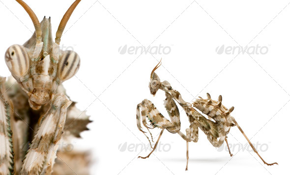 Female Devil's Flower Mantis in front of white background - Stock Photo - Images