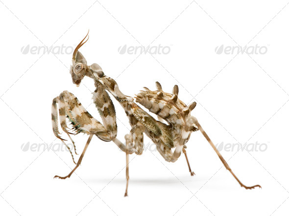 Female Blepharopsis mendica, Devil's Flower Mantis, in front of white background - Stock Photo - Images