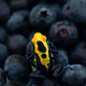 The poison dart frog sits on the berries - PhotoDune Item for Sale