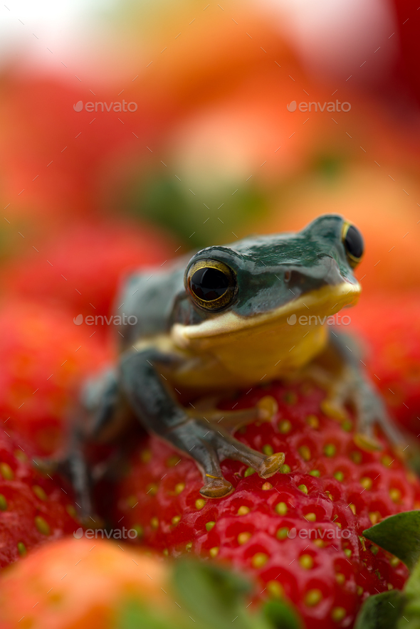 The poison dart frog sits on the berries - Stock Photo - Images