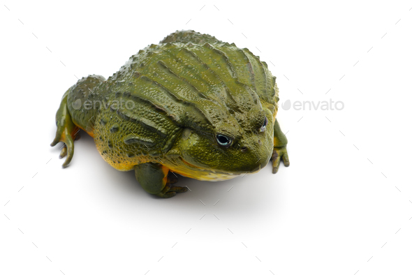 The African bullfrog isolated on white background - Stock Photo - Images