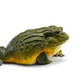 The African bullfrog isolated on white background - PhotoDune Item for Sale