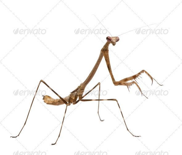 Praying mantis, Euchomenella sp, in front of white background - Stock Photo - Images