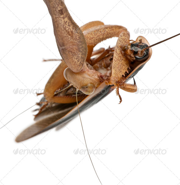 African Mantis or African Praying Mantis, Sphodromantis lineola, in front of white background - Stock Photo - Images