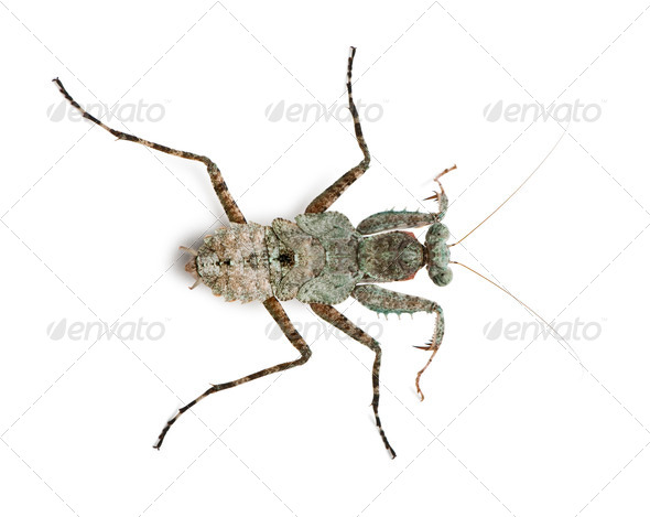 Theopompa, Praying mantis, in front of white background - Stock Photo - Images