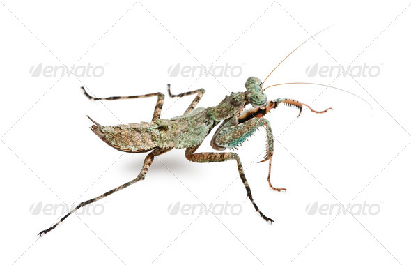 Theopompa SP, praying mantis, in front of white background - Stock Photo - Images