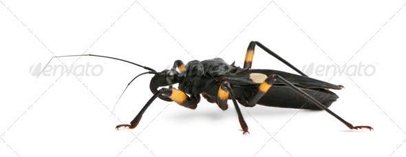 Platymeris biguttatus, a genus of assassin bug, reduviidae, against white background - Stock Photo - Images