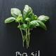 Basil - PhotoDune Item for Sale
