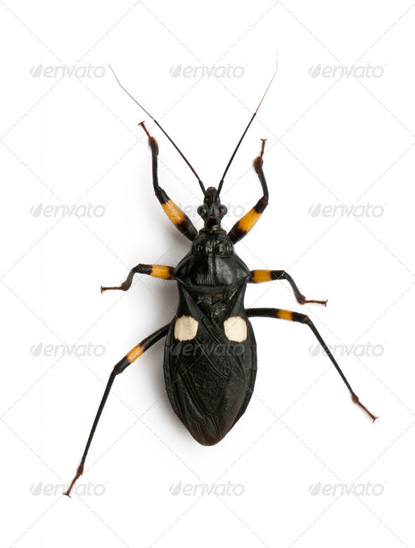 Platymeris biguttatus is a genus of assassin bug, reduviidae, in front of white background - Stock Photo - Images