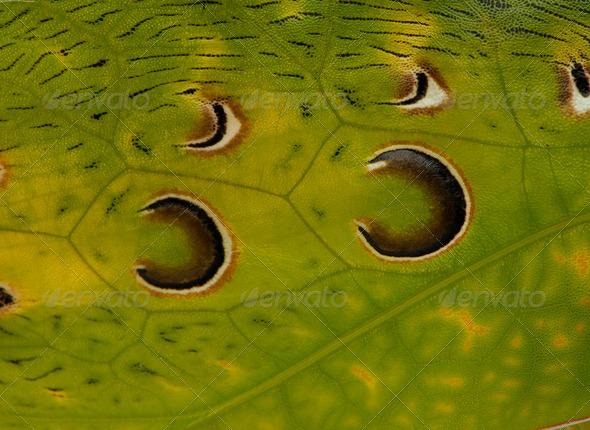 Close-up of grasshopper, Malaysian Leaf Katydid, Ancylecha fenestrata - Stock Photo - Images