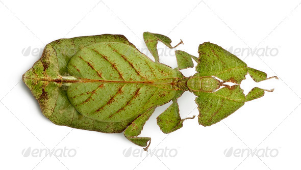 Phyllium bioculatum, leaf insect or walking leave, Phylliidae, against white background - Stock Photo - Images