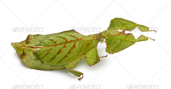 Phyllium bioculatum, leaf insect or walking leave, Phylliidae, in front of white background - Stock Photo - Images