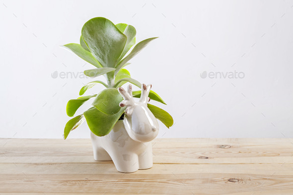 Kalanchoe thyrsiflora succulent pot plant with green, thick, rounded, paddle-shaped leaves - Stock Photo - Images