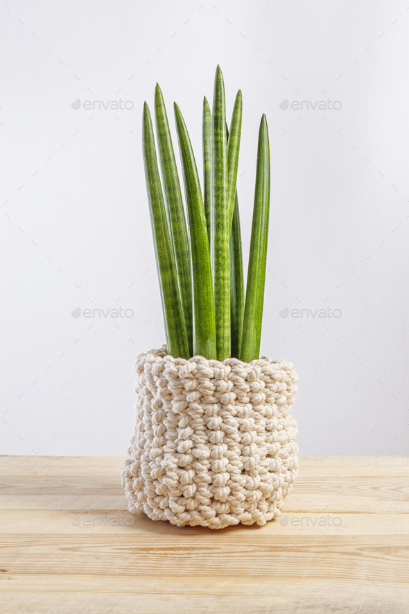 Decorative house plant - Sansevieria cylindrica on a pot in knitted case - Stock Photo - Images