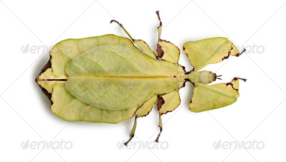 Phyllium giganteum, leaf insect walking leave, phyllidae, in front of white background - Stock Photo - Images