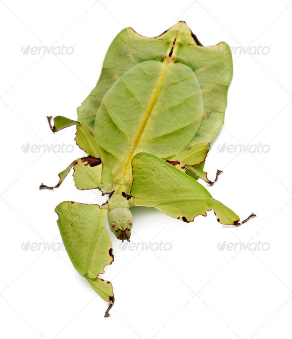 Phyllium giganteum, leaf insect, walking against white background - Stock Photo - Images