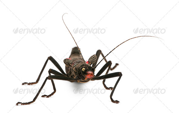 Peruphasma schultei, stick insect, in front of white background - Stock Photo - Images