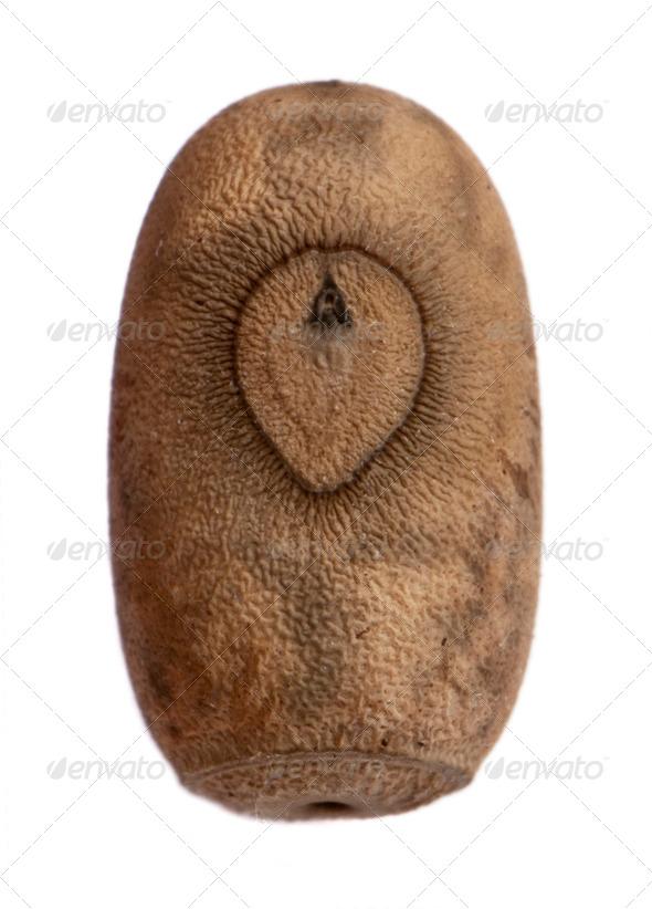Egg of Eurycantha insularis, stick insects, phasmatodea, against white background - Stock Photo - Images