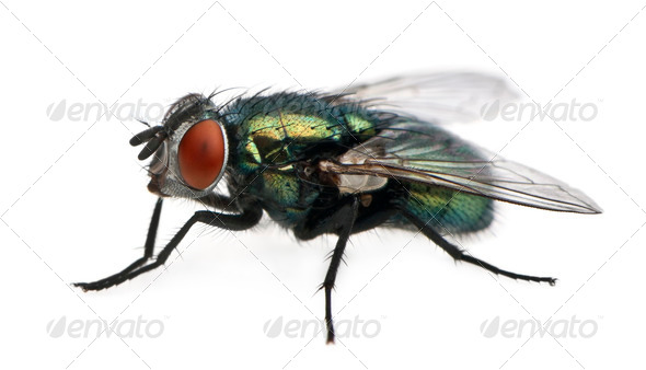 Lucilia caesar, blow-fly, in front of white background - Stock Photo - Images