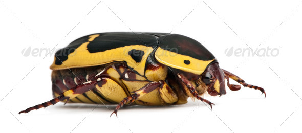 Pachnoda sinuata, a species of beetle, garden fruit chafer, in front of white background - Stock Photo - Images