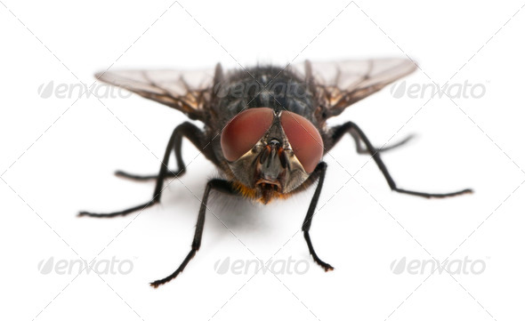 Housefly, Musca domestica, in front of white background - Stock Photo - Images