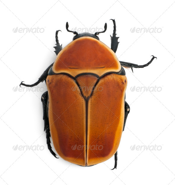 Pachnoda marginata, a species of beetle, Flower chafer, in front of white background - Stock Photo - Images