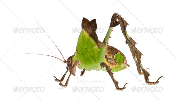 Grasshopper, Malaysian Leaf Katydid, Ancylecha fenestrata, in front of white background - Stock Photo - Images