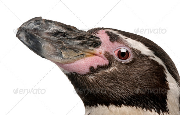 Humboldt Penguin, Spheniscus humboldti, in front of white background - Stock Photo - Images