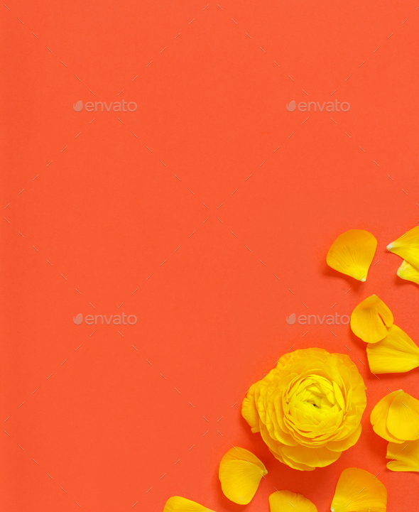 Yellow flowers and petals on a red background - Stock Photo - Images