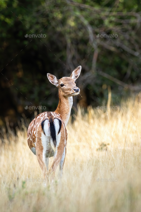 Fallow deer hind standing on a grassy meadow from behind - Stock Photo - Images
