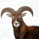 Close-up of curious wild mouflon looking to camera in wintertime - PhotoDune Item for Sale