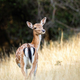 Fallow deer hind standing on a grassy meadow from behind - PhotoDune Item for Sale