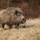 Huge wild boar with open mouth on a meadow with dry grass - PhotoDune Item for Sale