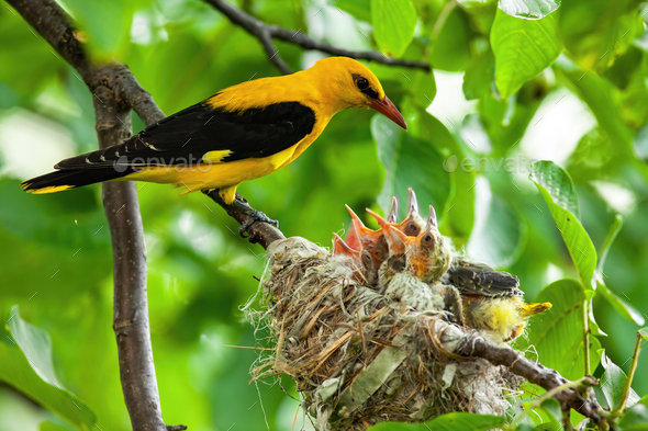 Golden oriole parenting in green nature in summertime - Stock Photo - Images