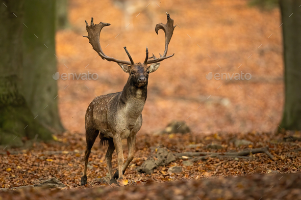 Fallow deer stag advancing closer between trees in autumn forest in nature - Stock Photo - Images
