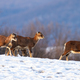 Herd of wild mouflons walking on snow covered field in winter - PhotoDune Item for Sale