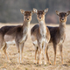 Three fallow deer hinds on a meadow looking attentively - PhotoDune Item for Sale