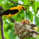 Golden oriole parenting in green nature in summertime - PhotoDune Item for Sale