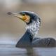 Great cormorant male in breeding plumage - PhotoDune Item for Sale