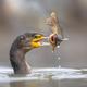 Great cormorant eating Black Bullhead fish - PhotoDune Item for Sale