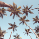 Looking up at coconut palm trees. - PhotoDune Item for Sale