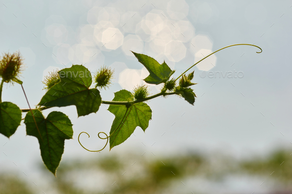 The green shoot of the vine with light bokeh - Stock Photo - Images