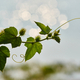 The green shoot of the vine with light bokeh - PhotoDune Item for Sale