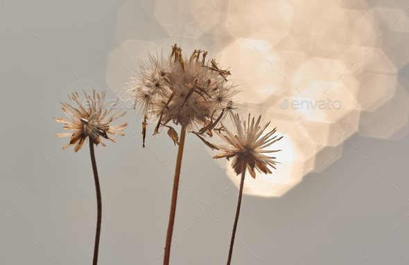 Wilted flower with light bokeh on sunny day - Stock Photo - Images