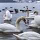 Beautiful white swans - PhotoDune Item for Sale