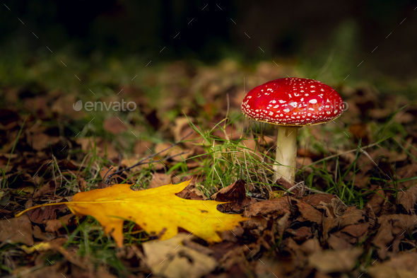 Amanita mushroom - Stock Photo - Images