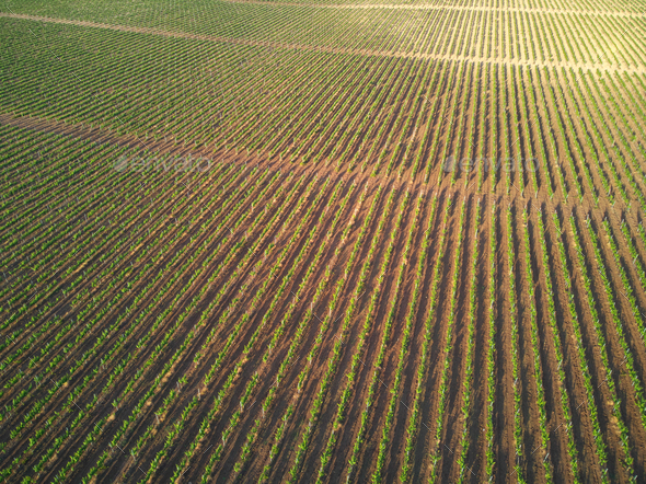 Rows of vineyard grape vines. - Stock Photo - Images